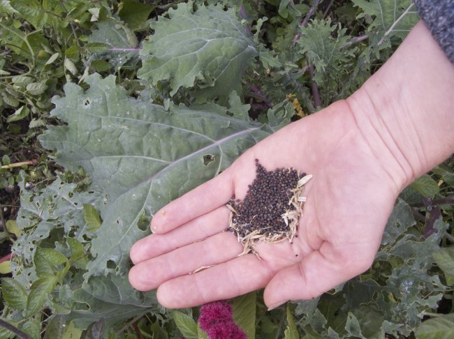 Kale seeds. Photo: Sara Heitlinger