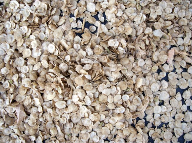 Richard's orach seeds. Photo: Sara Heitlinger