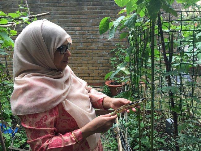 Anwara's runner beans. Photo: Anwara Uddin