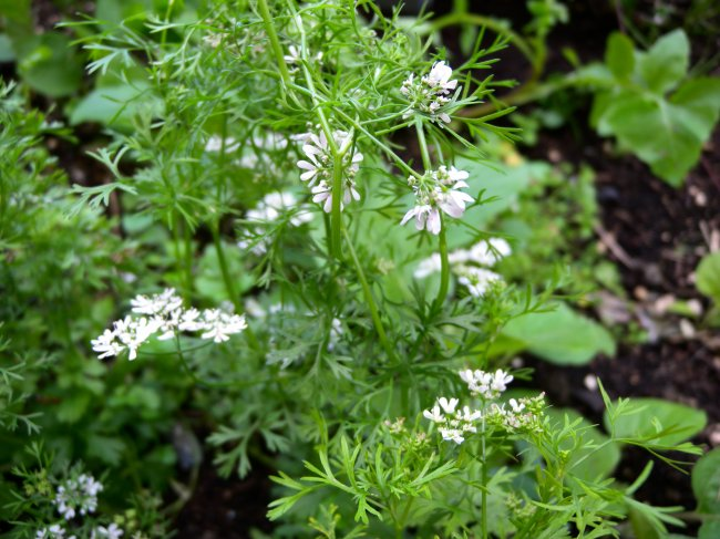 Halema's coriander. Photo: Halema Begum